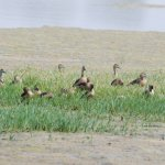 A group of whistling ducks