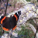 Red Admiral at Dove Cottage