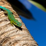Gecko (Phelsuma guimbeaui) spotted on the left part of the hotel beach