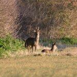 Deer on the field behind the B & B