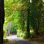 Maples, Firs and Cedars line our drive