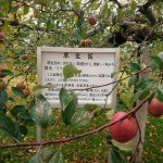 敷地内にあるリンゴの試験木