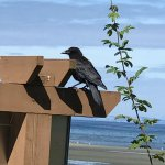 Crow on the sea stand, Pacific Prime Restaurant & Lounge, 181 Beachside Drive | Parksville, BC