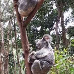Head to the koala nursery area near the wombat enclosure