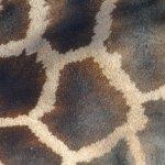 détail de la robe d'une girafe