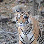 Male tiger just killed a cow