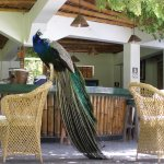 Peacock waiting to be served in the bar Hotel Majoro Nazca