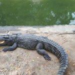 Crocodiles! They are alive ...