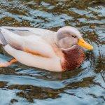 Ducks of many variety