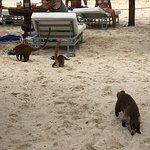 Coatie family on the beach