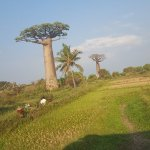 Foto de Avenue of the Baobabs