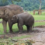 Elephants can walk freely in Elephant Nature Park