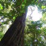 800 Year old Rimu Tree on the Blue Trail