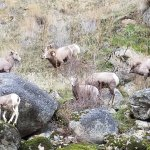 We watched these rams fight for about 10 minutes!