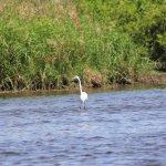 Great Egret fishing!