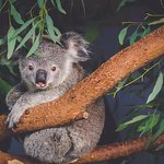 See this little guy and many more koalas and Australian wildlife on our Blue Mountains tour.