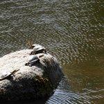 Tortoises sunning themselves