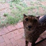 Close up with King Cheetah lady cub