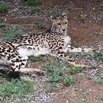 King Cheetah relaxing