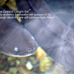 New Zealand Longfin Eel.