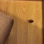 Esta cucaracha la encontré en la noche en mi habitación, al segundo día de estaer alojada.