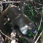 Coati sighting!!!