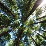 Photo of Redwoods, Whakarewarewa Forest