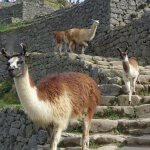 Llamas and the guard house