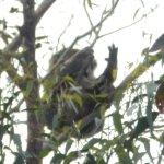 sleeping koala by the trail