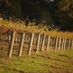 Saltram vineyard