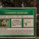 Common Leopard scientific name and characteristics