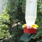 Visiting hummingbrd