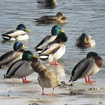 Lots of ordinary birds, like these Mallards, not a lot of interesting ones