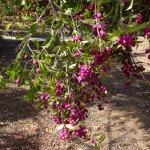 Stenocalyx Michelii, frukter