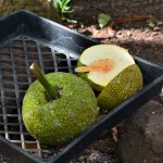 McBryde has one area dedicated to breadfruit research