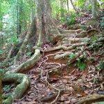 racines formant un escalier