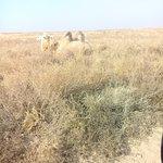 Отдыхающий верблюд в степи