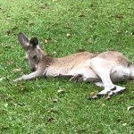 Kangaroos just live around the grounds