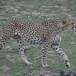 Cheetah huntring