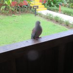 The friendly pigeon begging for food at our balcony.