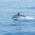 DELFIN COMUN: Delfín común oceánico o de aletas cortas es una especie de cetáceo odontoceto de l
