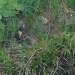 Local Pine Martin looking for her young