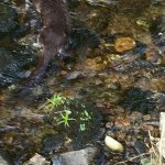 Fishing otter in the burn