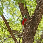 Narina Trogon at the lodge
