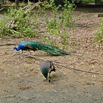 Павлины в Paramaribo Zoo