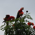 Scarlet Macaws less than 30 ft away from balcony