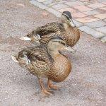 Zwei Enten haben das Zwischenahner Meer verlassen und besichtigen den Kurpark von Bad Zwischenah