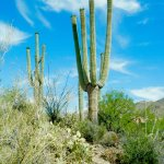 Lots of very big saguaros.