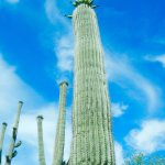 We have saguaros.