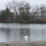 A white swan swimming.